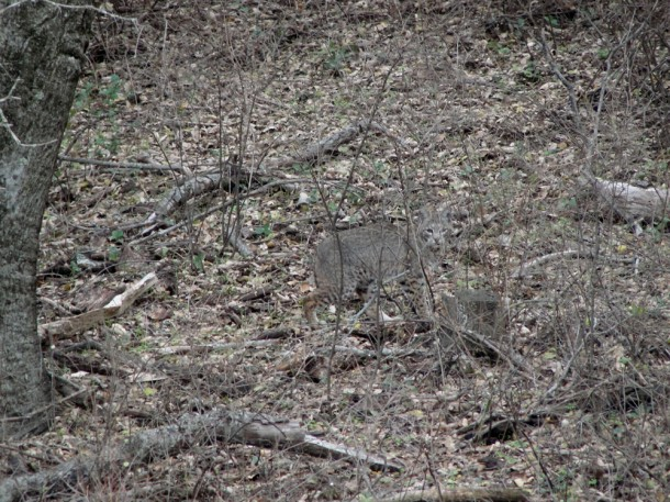 Bobcat photo image
